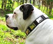 American Bulldog dog collar