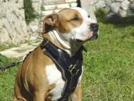 dog harness for Amstaff