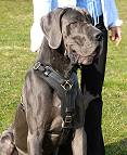 Great Dane dog harness