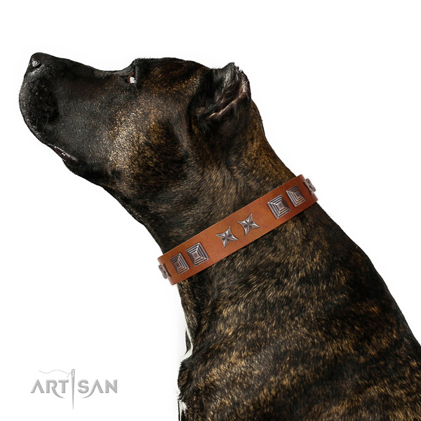 Extraordinary walking tan leather Amstaff collar with